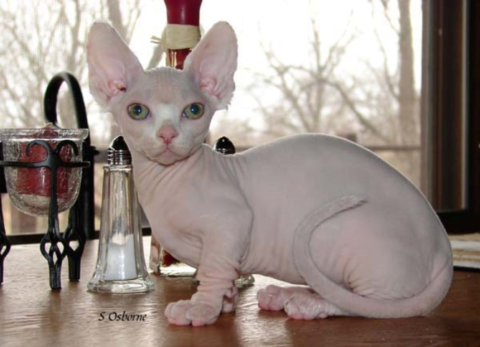 Minskin cat breed