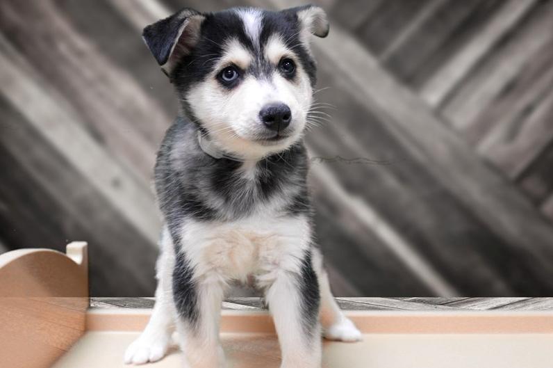 Alaskan shepherd puppy photo