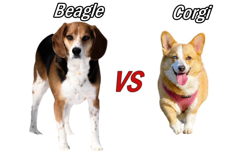 Beagle vs corgi
