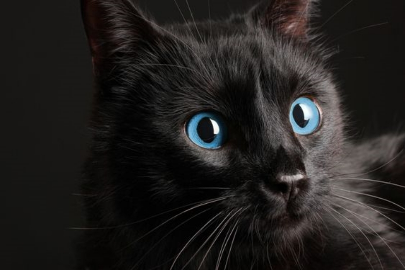 Ojos Azules cat photo
