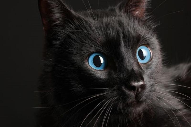 Ojos Azules cat photo