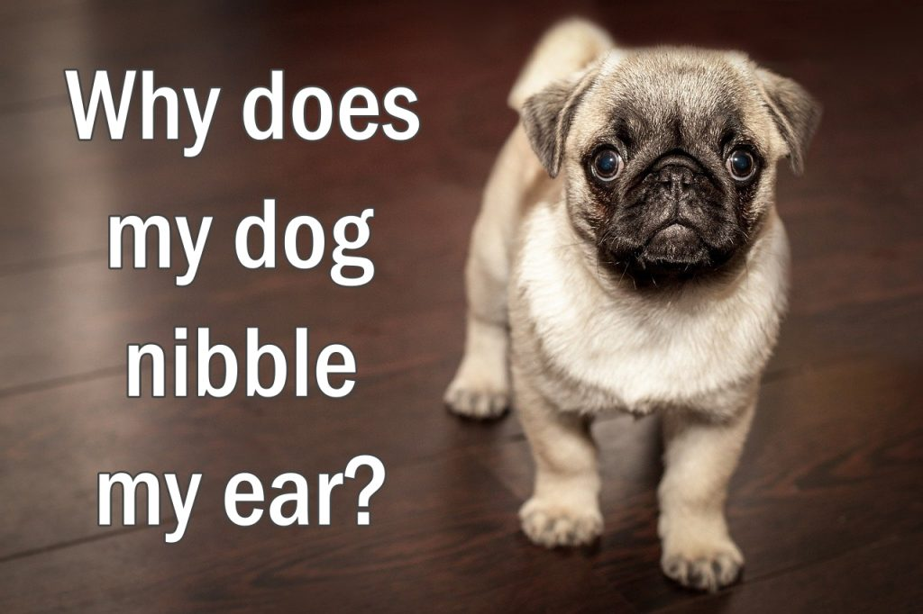 Why does my dog nibble my ear