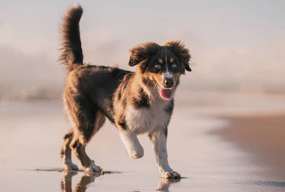 Short-Haired Australian Shepherd