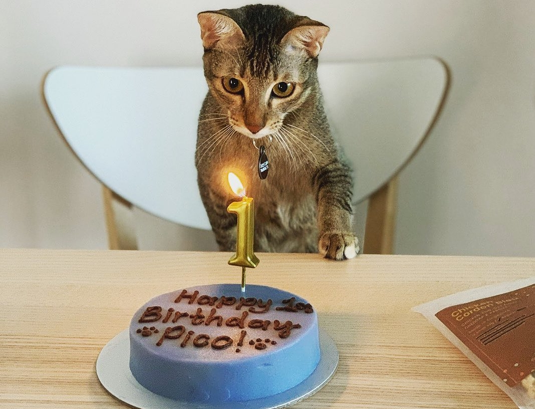can cats eat cake
