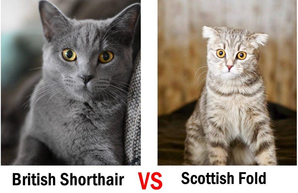 British Shorthair vs Scottish Fold