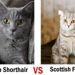 British-Shorthair-vs-Scottish-Fold