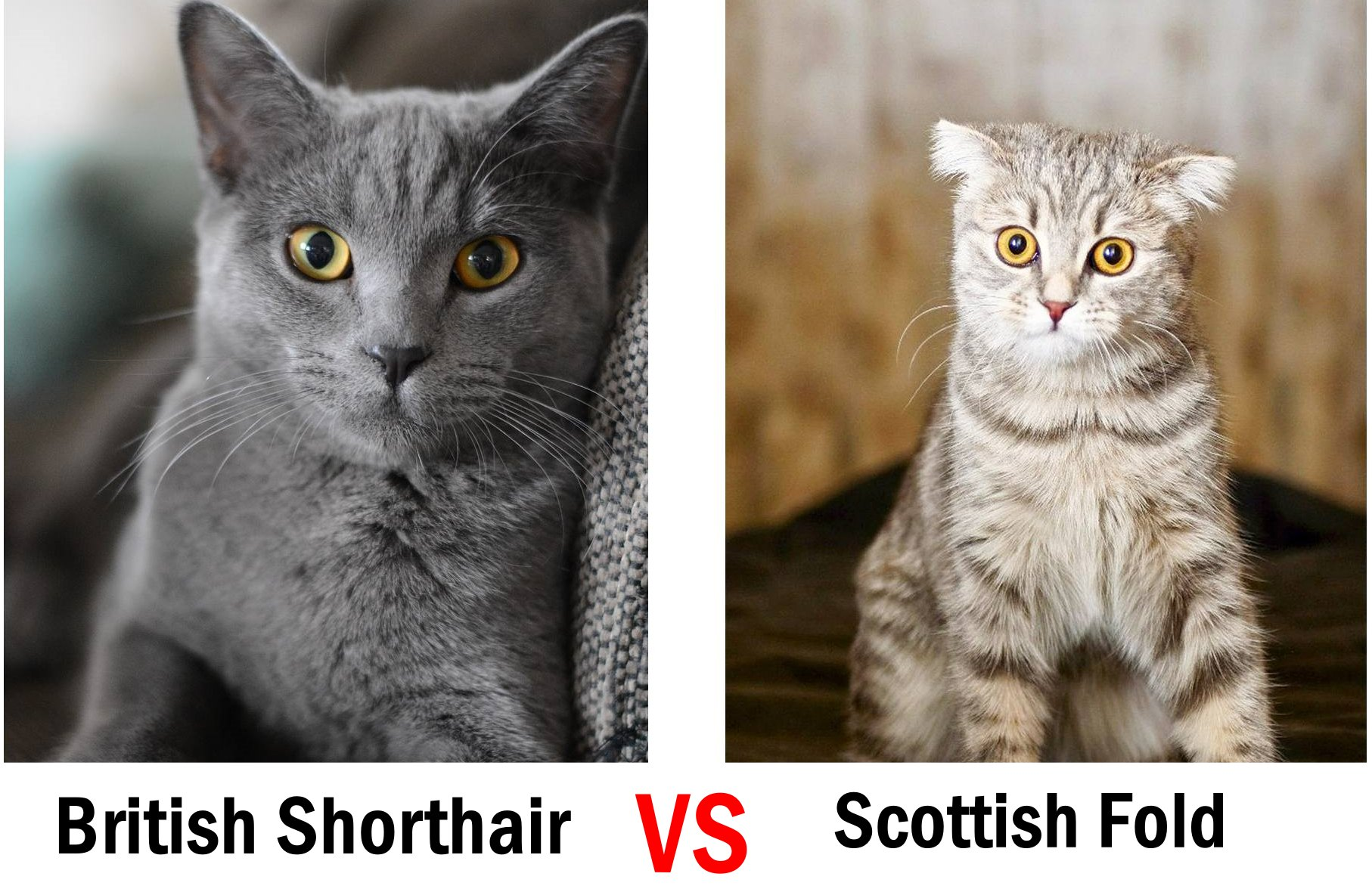 British-Shorthair-vs-Scottish-Fold