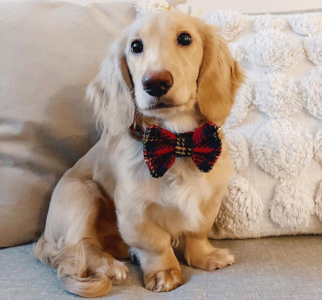 nglish Cream Dachshund Dog