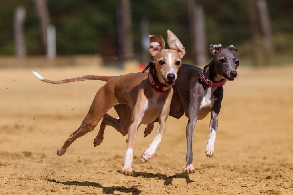 Do Greyhounds shed