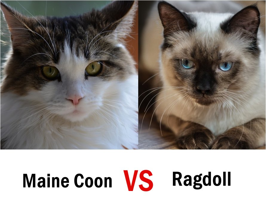 Maine Coon vs ragdoll