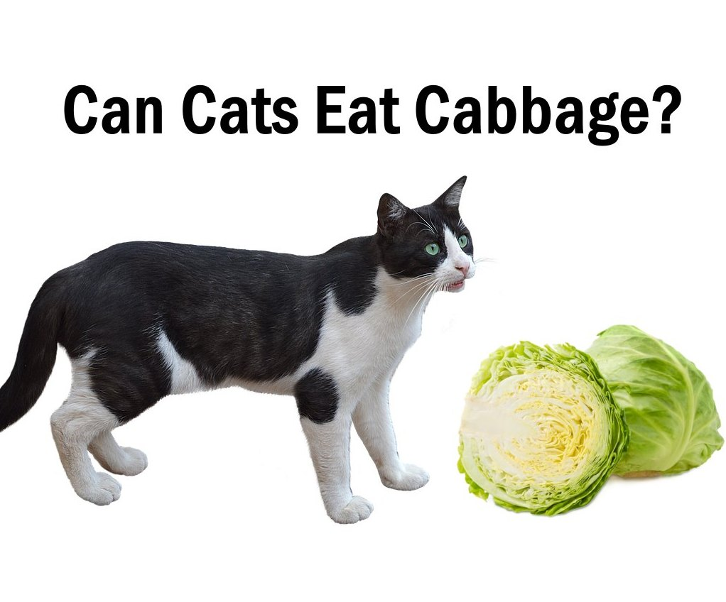 Can cats eat cabbage