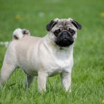 Pug - the best dogs for student