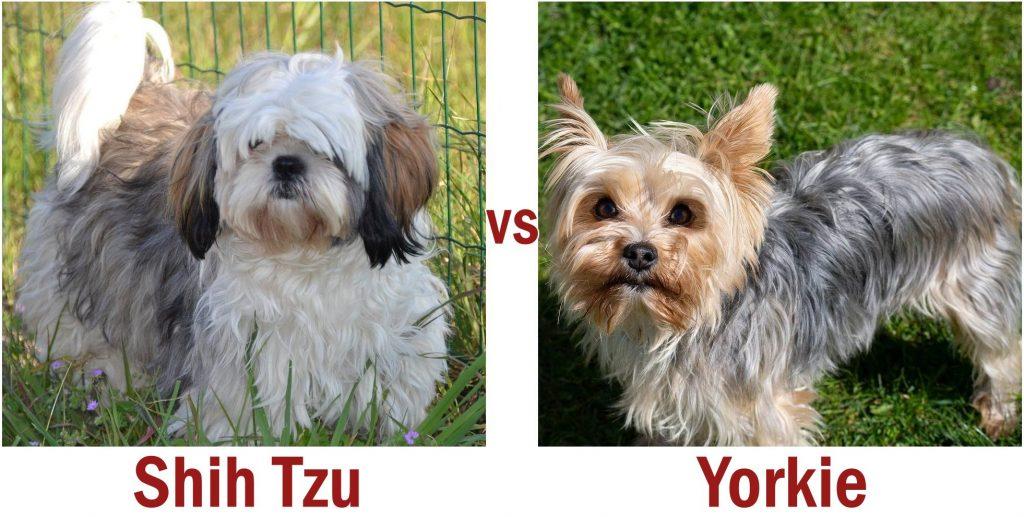 Shih Tzu vs Yorkie