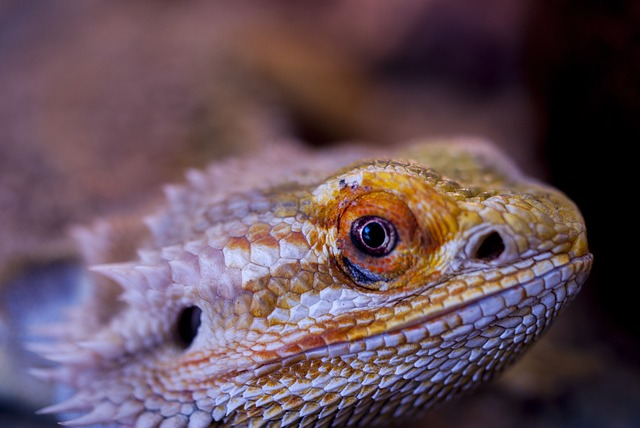 Do bearded dragons blink