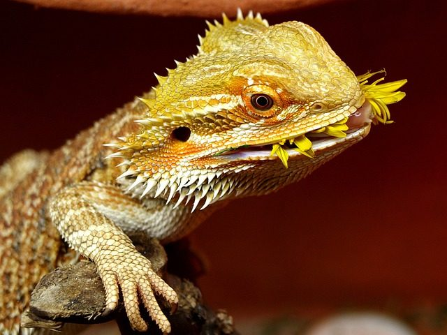 bearded dragons keep food in their mouth