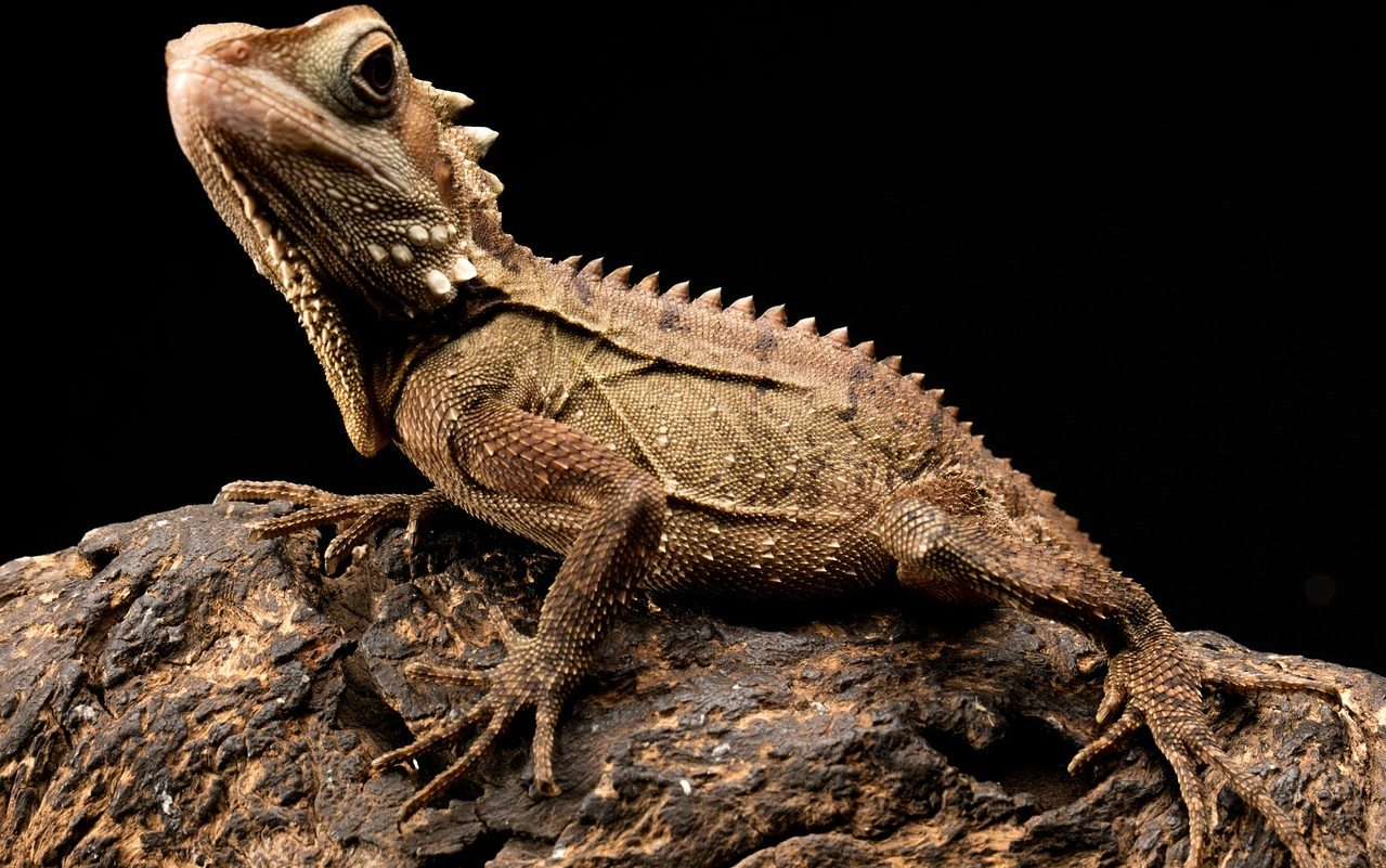 facts about bearded dragon