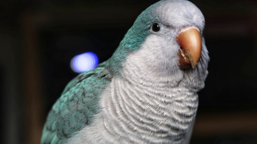 facts-about-quaker-parrots